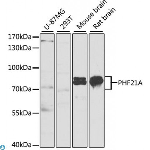 Buy Anti-PHF21A Antibody Online from St John Labs