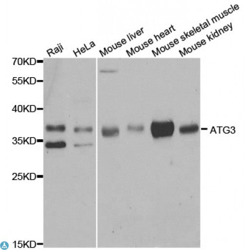 Buy Anti-ATG3 Antibody Online from St John Labs