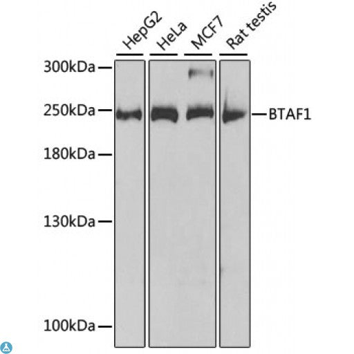 Buy Anti-BTAF1 Antibody Online from St John Labs