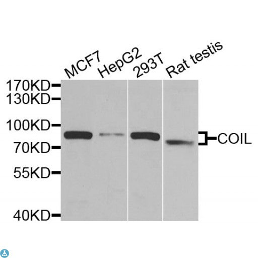 Buy Anti-COIL Antibody Online from St John Labs