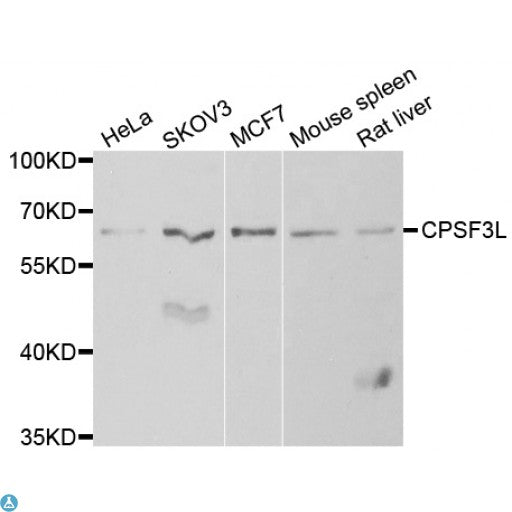 Buy Anti-CPSF3L Antibody Online from St John Labs