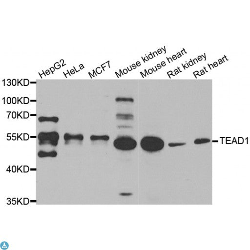 Buy Anti-TEAD1 Antibody Online from St John Labs