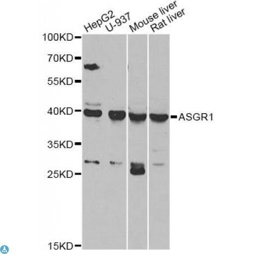 Buy Anti-ASGR1 Antibody Online from St John Labs