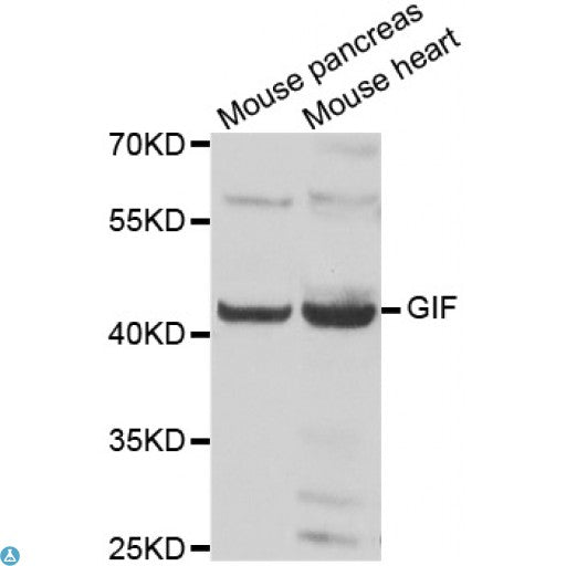 Buy Anti-GIF Antibody Online from St John Labs