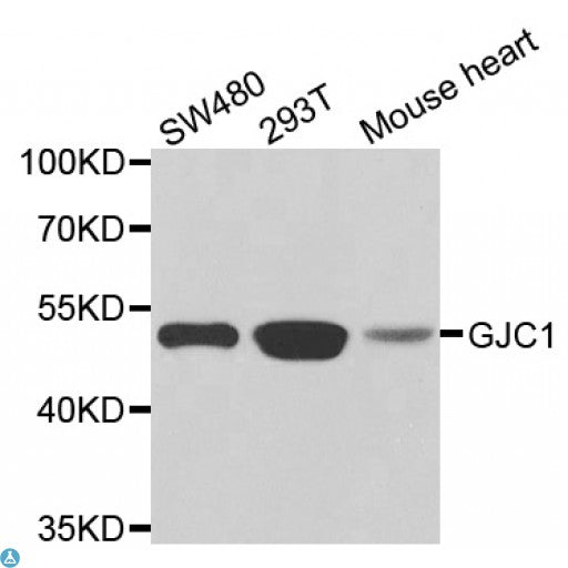 Buy Anti-GJC1 Antibody Online from St John Labs