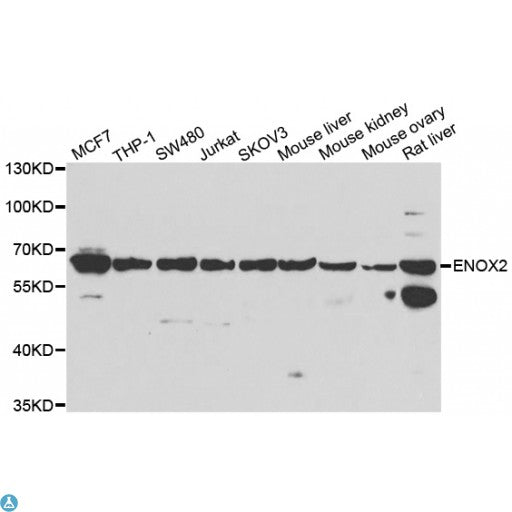 Buy Anti-ENOX2 Antibody Online from St John Labs