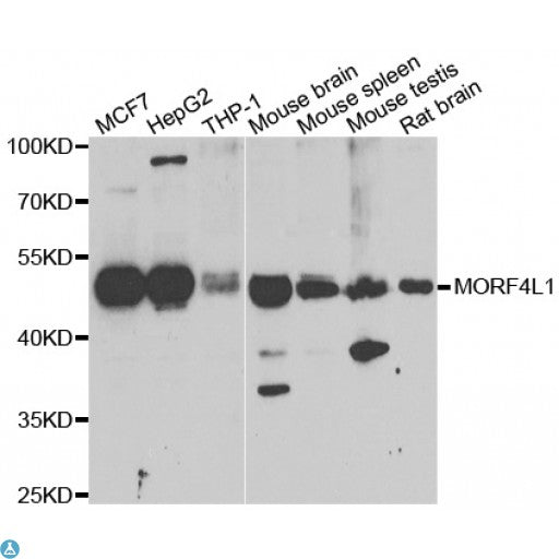 Buy Anti-MORF4L1 Antibody Online from St John Labs