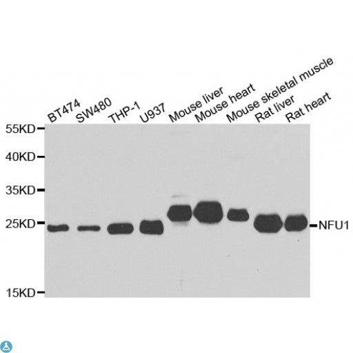 Buy Anti-NFU1 Antibody Online from St John Labs