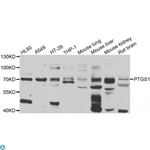 Buy Anti-PTGS1 Antibody Online from St John Labs