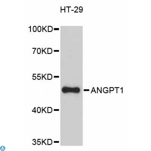 Buy Anti-ANGPT1 Antibody Online from St John Labs