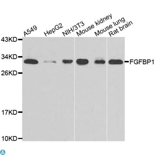 Buy Anti-FGFBP1 Antibody Online from St John Labs
