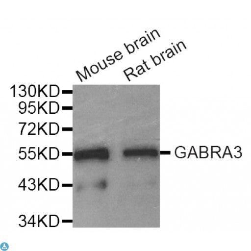 Buy Anti-GABRA3 Antibody Online from St John Labs