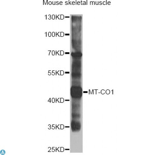 Buy Anti-MT-CO1 Antibody Online from St John Labs