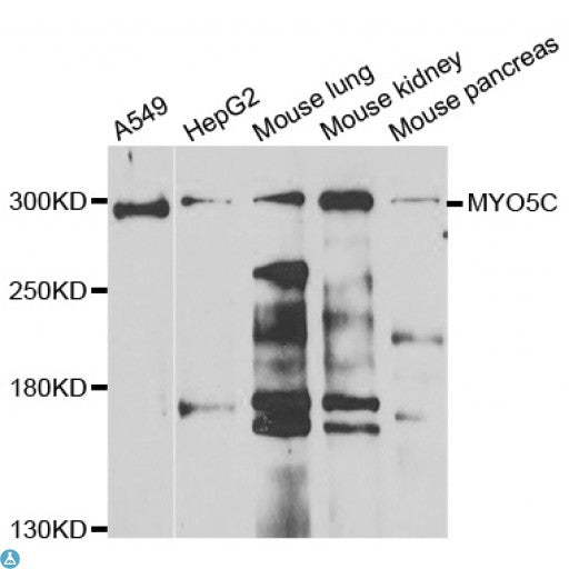 Buy Anti-MYO5C Antibody Online from St John Labs