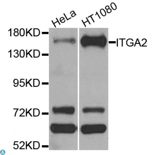 Buy Anti-ITGA2 Antibody Online from St John Labs