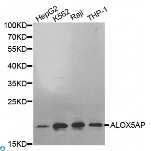 Buy Anti-ALOX5AP Antibody Online from St John Labs