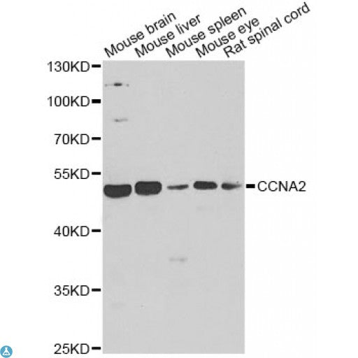 Buy Anti-CCNA2 Antibody Online from St John Labs