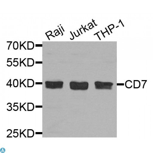 Buy Anti-CD7 Antibody Online from St John Labs