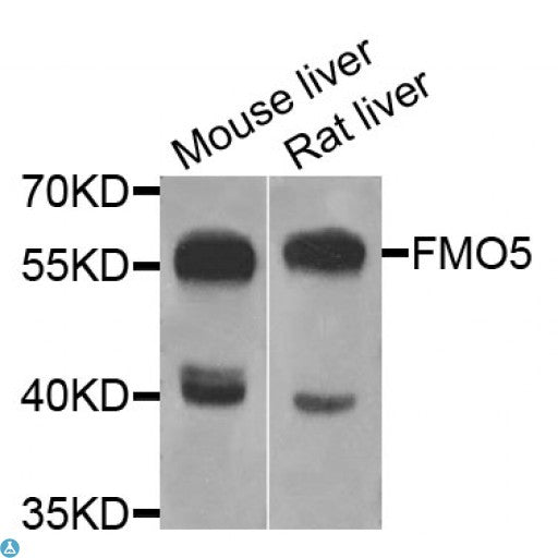 Buy Anti-FMO5 Antibody Online from St John Labs