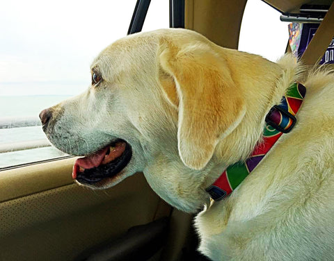 bright fesive dog collar from Key West