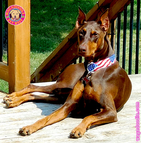 american flag patriotic dog collar