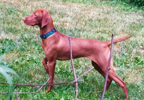 personalized extra wide collar on a long necked dog by wagadoodle key west on Vizsala named Skye