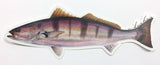 "White Seabass 8"" Stickers from Amadeo - Red Triangle Spearfishing"