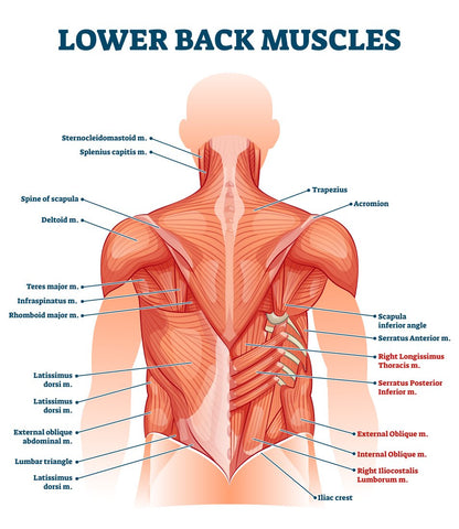 lower back muscle structure
