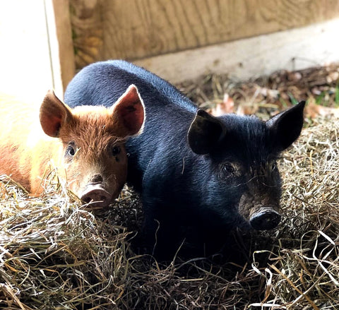 baby pigs on a farm