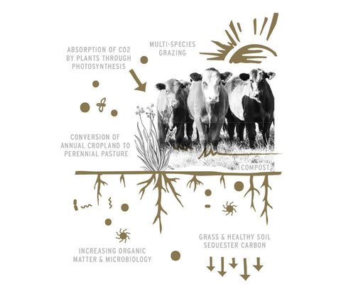 cattle and photosynthesis