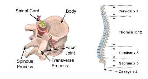 spinal anatomy, disc structure