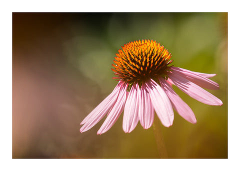 "#Sale #Item ""Echinacea"" by Adam Durst"