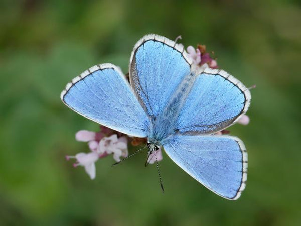 Adonis Blue butterfly for Butterfly Conservation