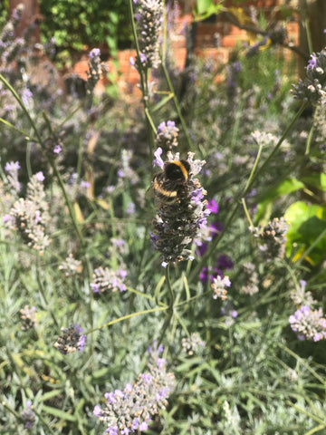 Bees enjoying our lavender