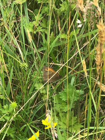 Meadow Brown butterfly spotted in the Cupsmith fields