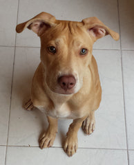 rescue pit bull shar-pei mix
