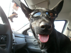 german shepherd with sun glasses