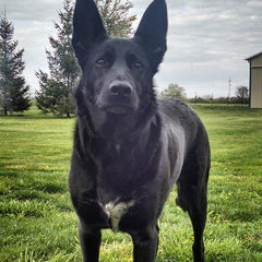 rescue black german shepherd