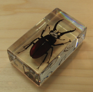 Mountain Stag Beetle - LARGE