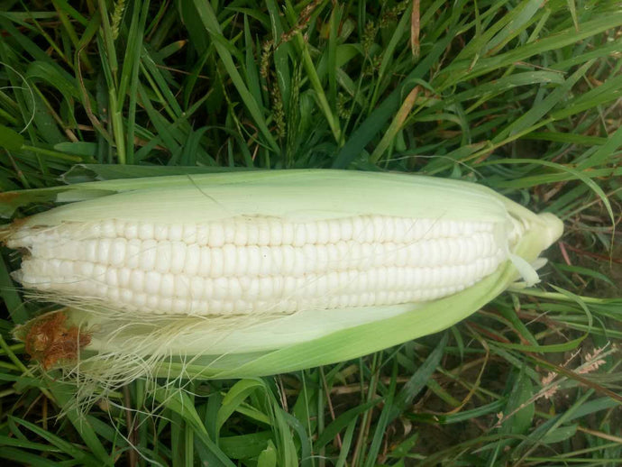 White Glutinous Corn - 白糯米玉米 (selection)