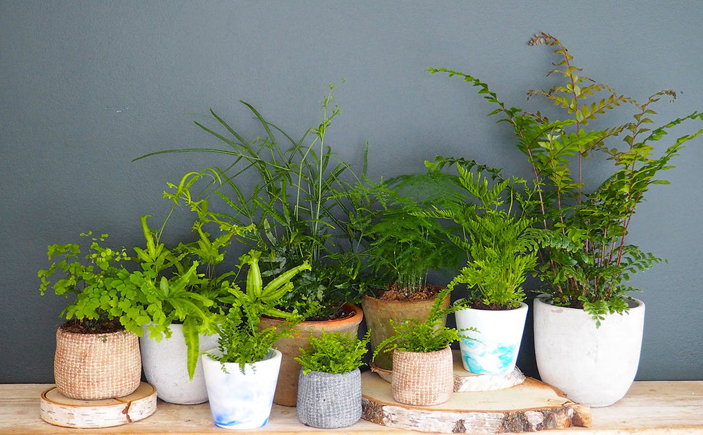How to care for your houseplants Lets talk about ferns