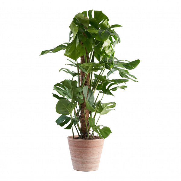Large Cheese Plant (Monstera Deliciosa)