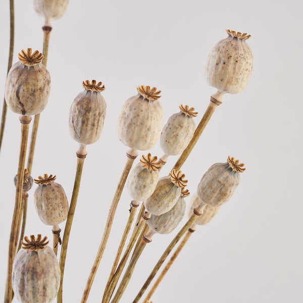 Poppy heads dried bunch