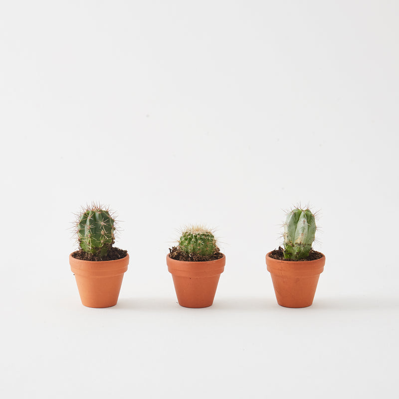 Set of 3 Mini Cacti