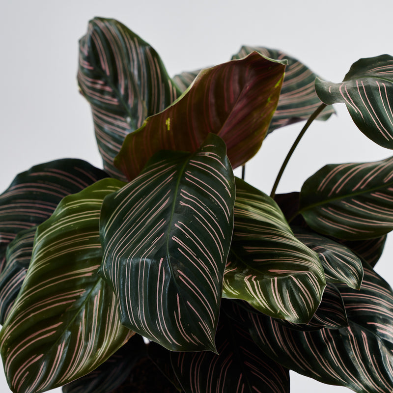 Calathea Pin Stripe (Ornata)