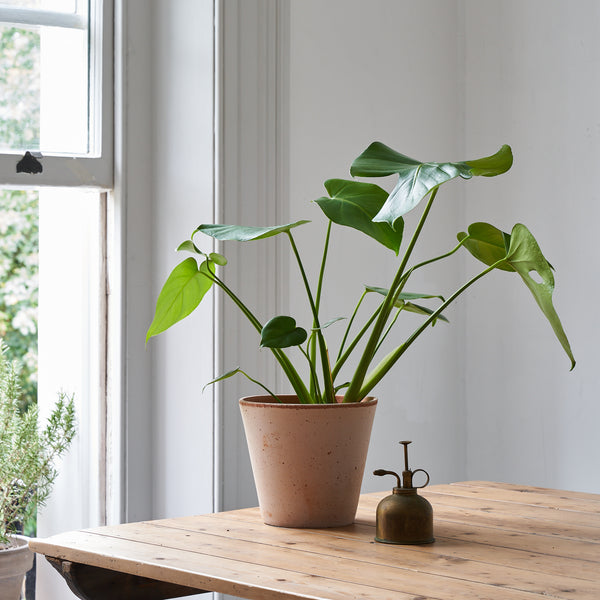 Cheese Plant (Monstera Deliciosa) - Medium