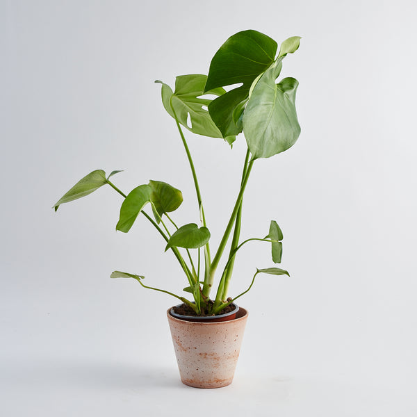 Cheese Plant (Monstera Deliciosa) - Small