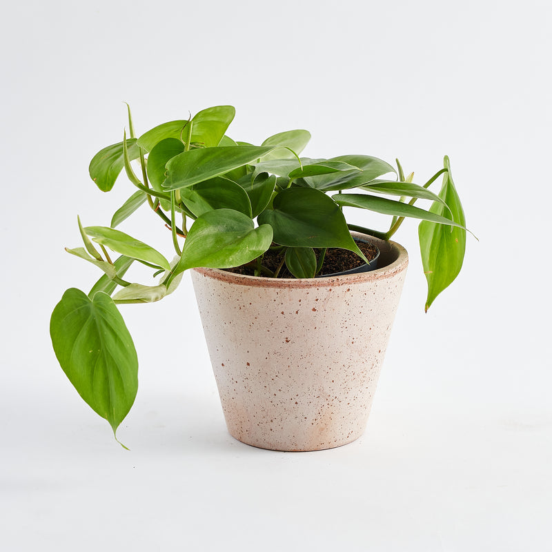 Philodendron Scandens (Pothos)