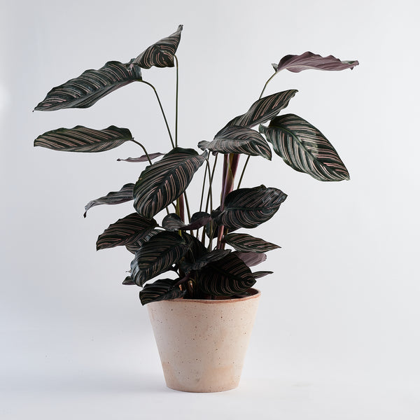 Calathea Pin Stripe (Ornata) - Large