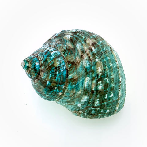 Blue-Green Turban Shell (polished)
